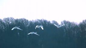 飞行反对树的慢动作天鹅 股票录像