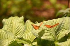 飞行叶子的两只橙色茱莉亚蝴蝶 库存图片