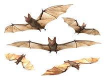 飞行吸血蝙蝠 库存照片