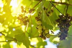 飞行和吃在葡萄的许多昆虫垂悬在藤废墟 免版税库存照片