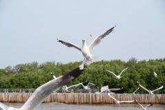 飞行和吃在蓝天的海鸥群食物 免版税库存照片