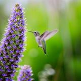 飞行和哺养的蜂鸟 免版税库存图片