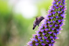 飞行和哺养的蜂鸟 库存照片