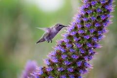 飞行和哺养的蜂鸟 免版税库存照片