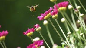 飞行和授粉红色花的蜂鸟 免版税库存图片