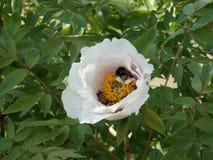飞行和收集美好的尘土的蜂从开花花 免版税库存图片