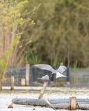 飞行和运载在他的额嘴的燕鸥一条鱼 免版税图库摄影