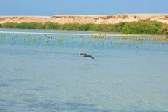 飞行和钓鱼由海边的海鸥有海洋和蓝天的背景 库存图片