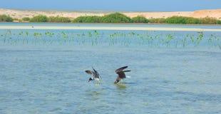 飞行和钓鱼由海边的海鸥有海洋和蓝天的背景 库存照片
