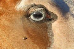 飞行和马的眼睛 库存图片