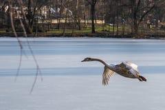 飞行在一个冻湖的一只幼小灰色疣鼻天鹅 库存照片