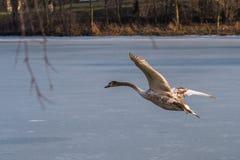 飞行在一个冻湖的一只幼小灰色疣鼻天鹅 免版税图库摄影