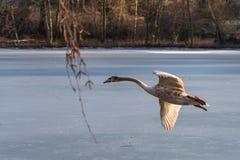 飞行在一个冻湖的一只幼小灰色疣鼻天鹅 免版税库存图片