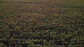飞行在一个开花的向日葵领域4K 横跨向日葵的一个黄色领域的寄生虫录影 领域的夏天风景 股票录像