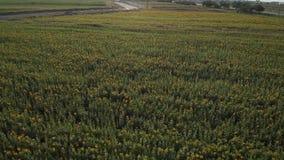 飞行在一个开花的向日葵领域4K 横跨向日葵的一个黄色领域的寄生虫录影 领域的夏天风景 影视素材