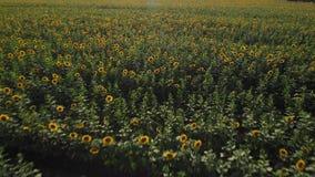 飞行在一个开花的向日葵领域4K 横跨向日葵的一个黄色领域的寄生虫录影 领域的夏天风景 股票视频