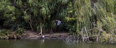 飞行在一个湖的鸟在Centenial公园,悉尼 免版税库存照片