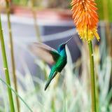 飞行在一个热带桔子f的蓝绿色蜂鸟 免版税库存图片