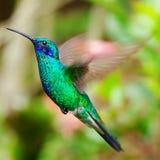 飞行在一个热带桔子f的蓝绿色蜂鸟 库存图片