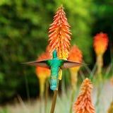 飞行在一个热带桔子f的蓝绿色蜂鸟 免版税库存照片