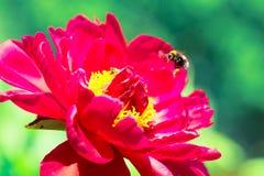 飞行在一朵红色牡丹花的土蜂在夏天 新的发行被重新设计的美元钞票 自然本底 图库摄影