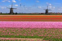 飞行在不尽的红色郁金香农场的鹅 库存图片