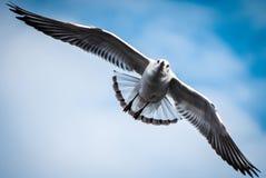 飞行在与云彩特写镜头的蓝天的海鸥 库存照片