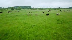飞行在与吃草母牛和绵羊的绿色领域 国家风景空中背景  股票视频