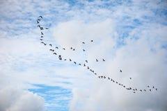 飞行在与白色云彩的蓝天的小组鹅 免版税库存照片