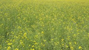 飞行在与黄色花的绿色领域 影视素材