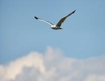 飞行在云彩的海鸥 库存图片