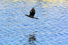 飞行在人下陷起波纹的大海的一只黑鸬鹚鸟  免版税库存照片