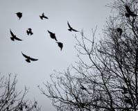 飞行在光秃的冬天树枝中的乌鸦 免版税库存图片
