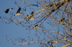 飞行在冬天树后的加拿大鹅 库存照片