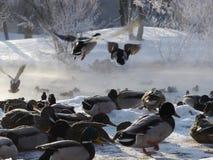 飞行在冬天的野鸭 免版税库存照片