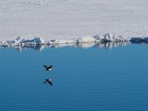飞行在冰川的皇家粗毛鸬鹚在南极洲 免版税库存图片