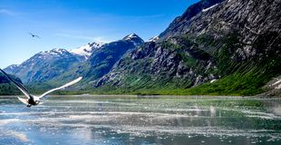 飞行在冰河海湾的两只海鸥 免版税图库摄影