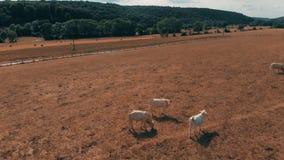 飞行在吃草在黄色领域的母牛牧群在夏日 在蓝天和黄色草的云彩 空中veiw 股票录像