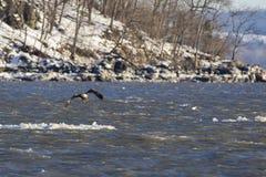 飞行在哈得逊河的冰山的白头鹰 免版税库存照片