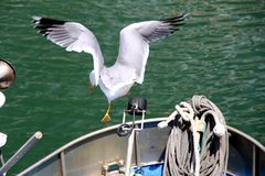 飞行在地中海的海鸥 免版税库存照片