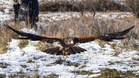 飞行在地面附近的哈里斯的鹰 免版税库存图片