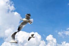 飞行在多云天空的几只海鸥 库存图片