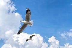 飞行在多云天空的几只海鸥 免版税图库摄影