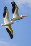 飞行在多云蓝天的两美国白色鹈鹕 免版税库存图片