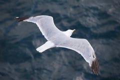 飞行在大海背景的海鸥 库存图片