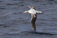 飞行在大西洋的水的漂泊信天翁 库存照片