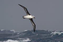 飞行在大西洋stor的波浪的白发信天翁 免版税库存照片