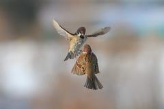 飞行在天空中的两只鸟麻雀 免版税库存照片