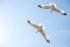 飞行在天空的两只海鸥 库存照片