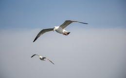飞行在天空的两只海鸥 库存图片